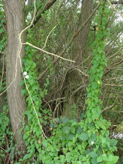Dschungel-Lianen mit weißen Blüten...