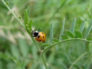 Und noch ein Marienkäfer