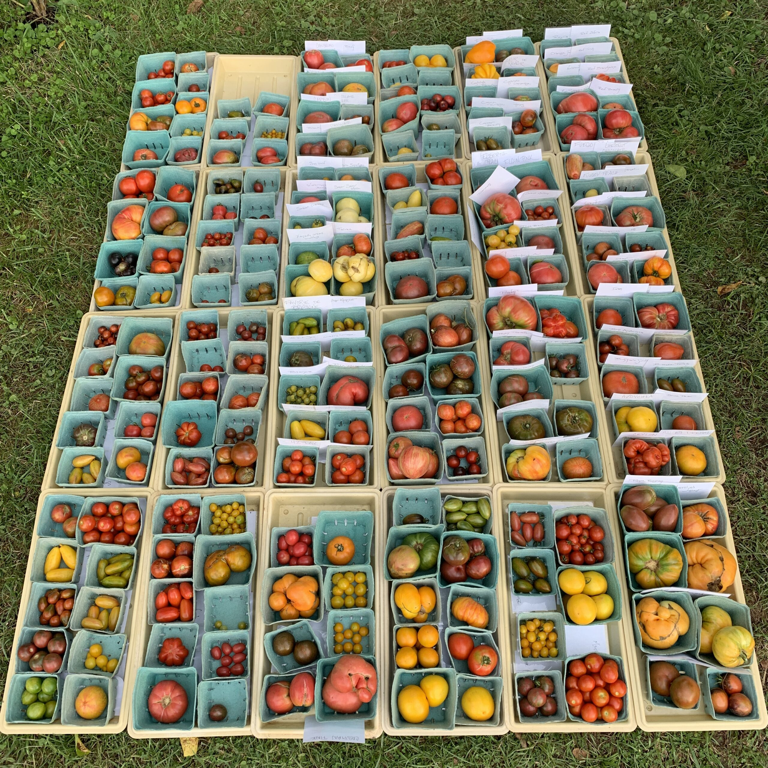 Image of a day's tomato harvest, about 200 kinds.