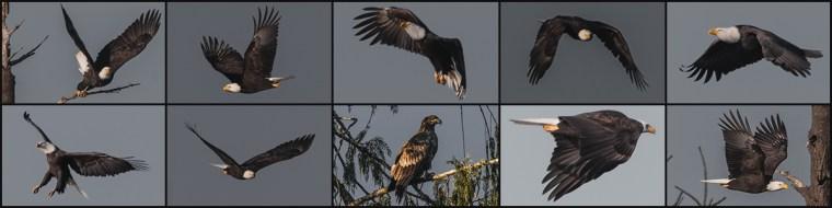 2014 Bald Eagle Composite