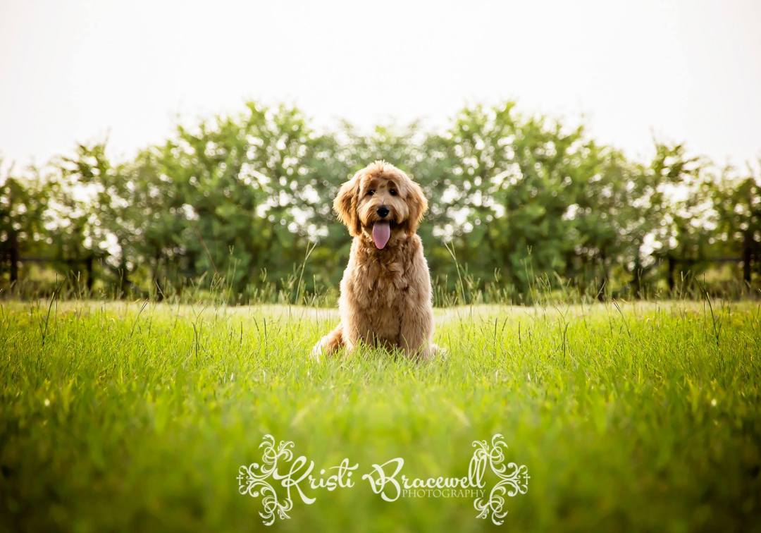 A grown golden doodle. Photo by Kristi Bracewell