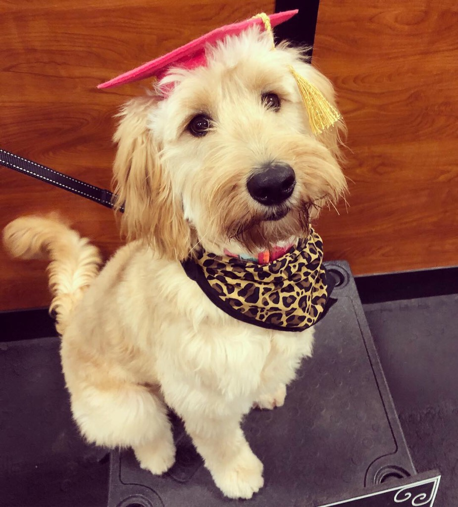 Rainfield Goldendoodles at Work and Play. A word on training…