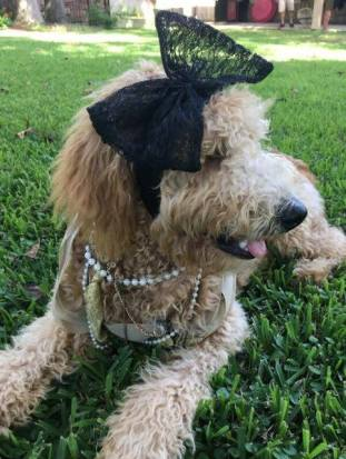 Lily Grace, an F1B Golhdendoodle has a flare for style