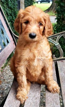 This little girl F1B goldendoodle puppy is available now