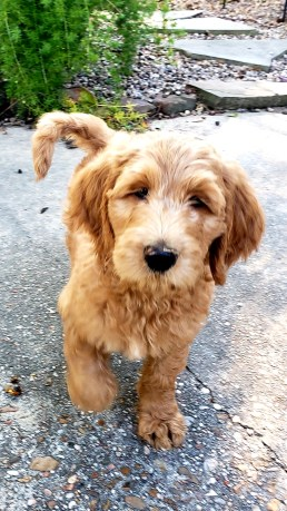 Male Goldendoodle Puppy
