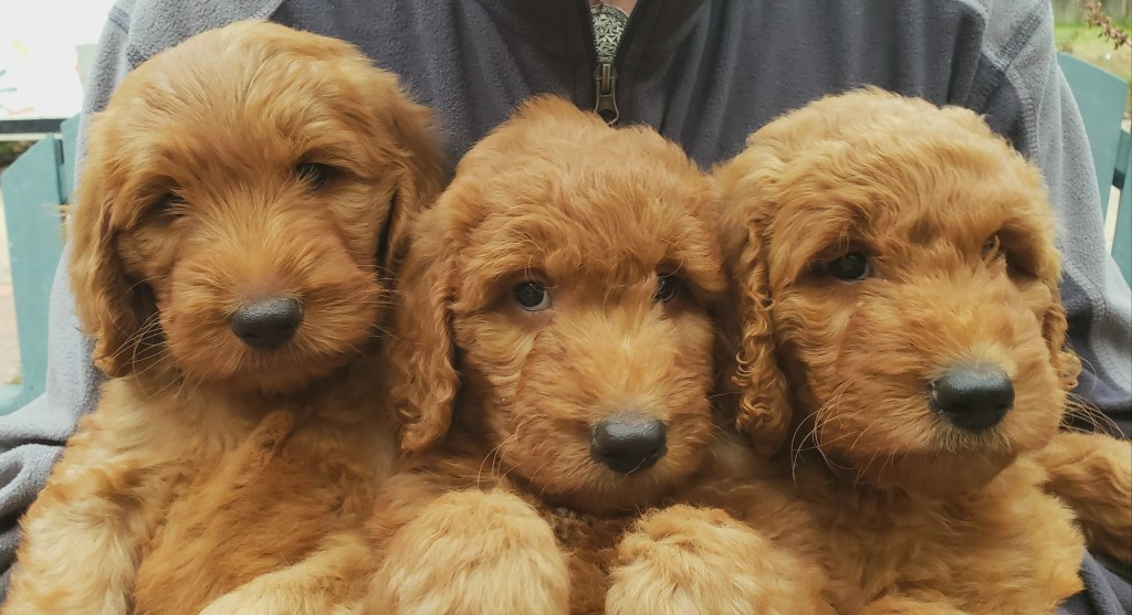Mix of curly goldendoodles and shaggy wavy goldendoodles