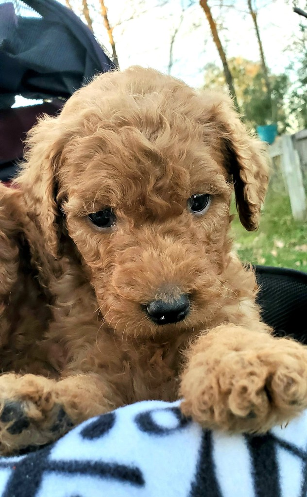 Benny - F1B Apricot Goldendoodle Puppy in Houston, TX