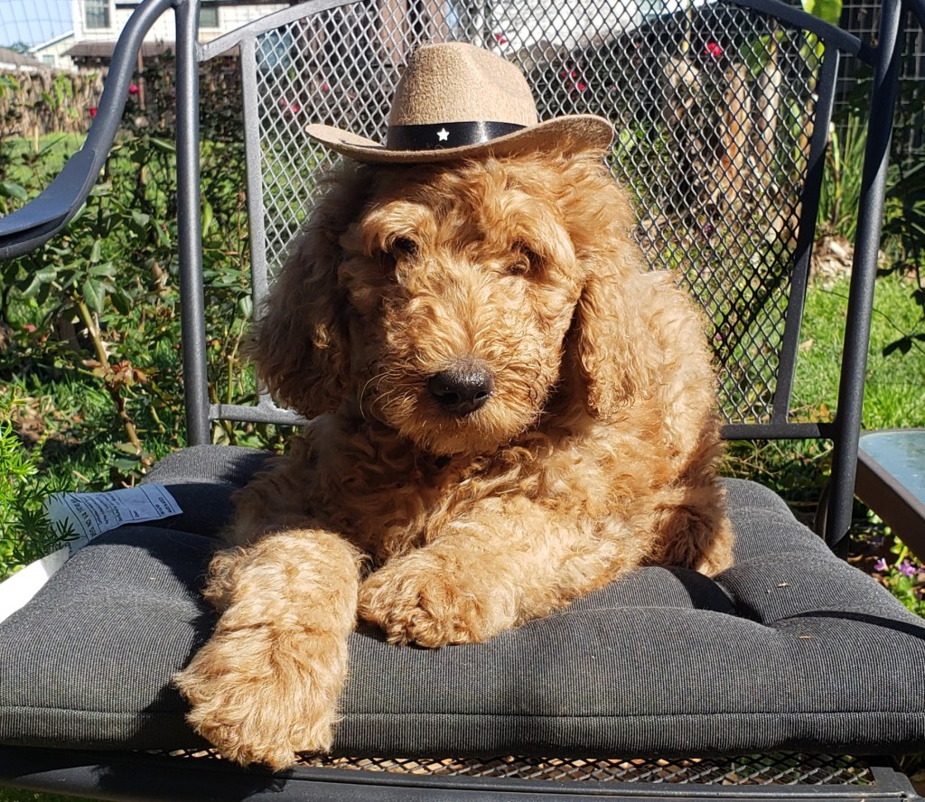 Goldendoodle puppy - Houston