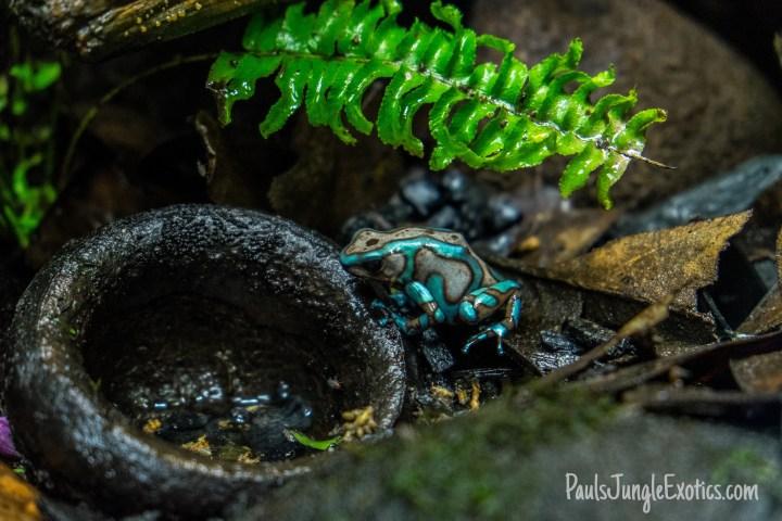 Dendrobates Bronze and Turquoise Auratus Poison Dart Frog