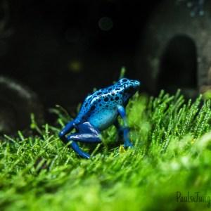 blue Azureus Poison Dart Fro