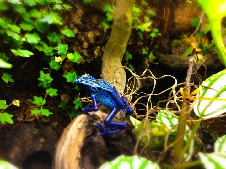 dendrobates tinctorius azureus climbs a stick in his vivarium