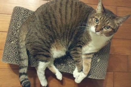 貓抓板 | 瓦楞紙貓沙發躺椅與肥貓