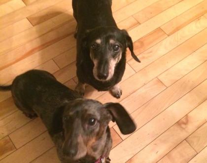 Rainier Veterinary Hospital Dog of the Month, February 2017: Peanut and Huxley