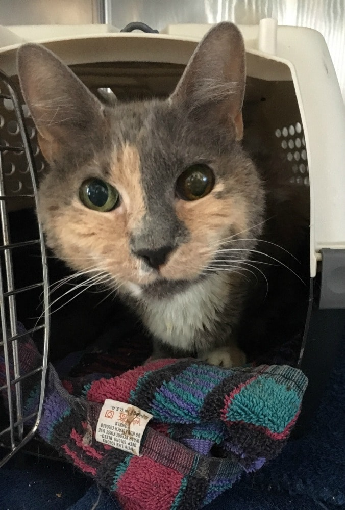Rainier Veterinary Hospital Cat of the Month, August 2017: Mouse