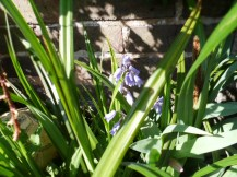 A coveted bluebell.