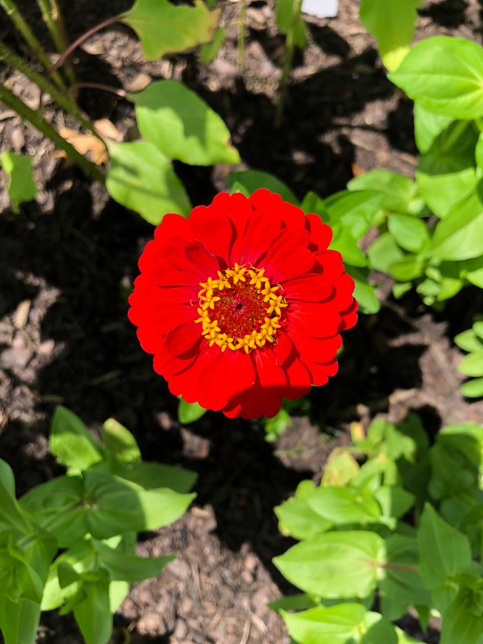 Flowers for a Cut Flower Garden