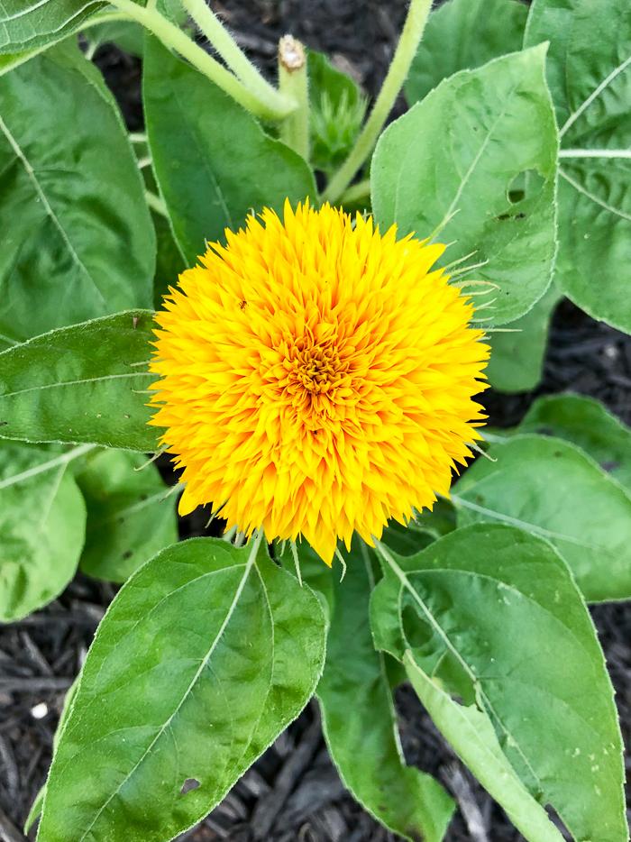 Best Cut Flowers - Teddy Bear Sunflowers