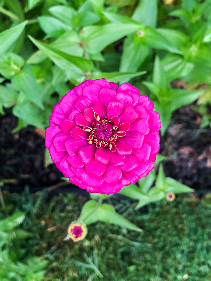 Best Flowers for Cutting Garden - Zinnias