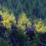 Forests, Logging, clear cut, relict trees, Weyerhaeuser Company,