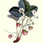 strawberry-plant-875300_640