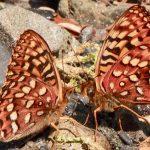 Speyeria hydaspe