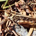 Clear-winged Grasshopper (Camnula pellucida)