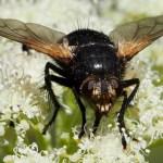 Tachinidae (Bristle Fly)