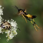 Evodinus vancouveri & insect #2