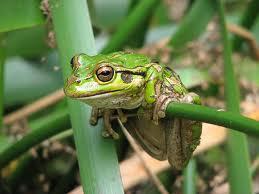 Western Green Tree Frog