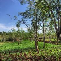 Photo of an intercropped section of Raintree Farms moringa tree plantation