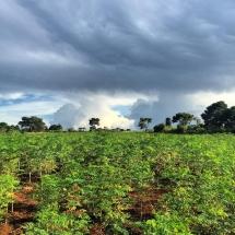 Raintree Farms, ltd moringa oleifera leaf plantation