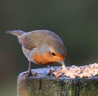 Robin (8)