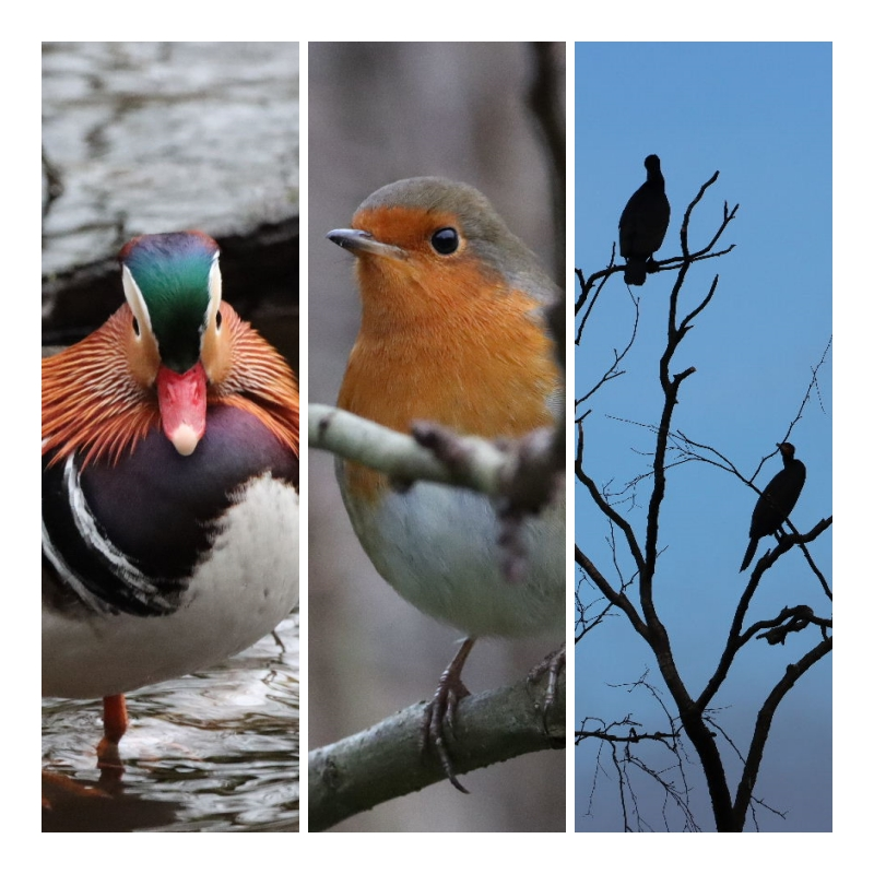 The Mandarin, The Robin and The silhouette in the tree.