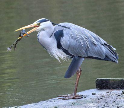Heron and breakfast