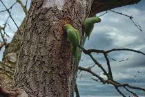 Parakeets (L)