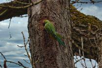 Parakeet (L)