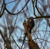 Woodpecker (L)