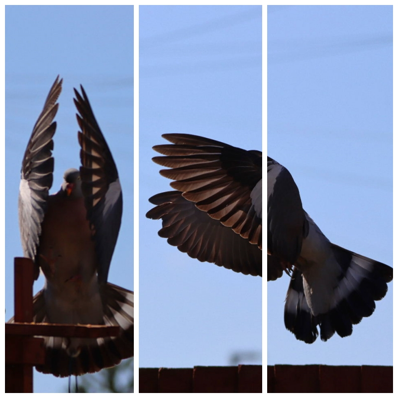 Pigeon post – a few words about the woodpigeon