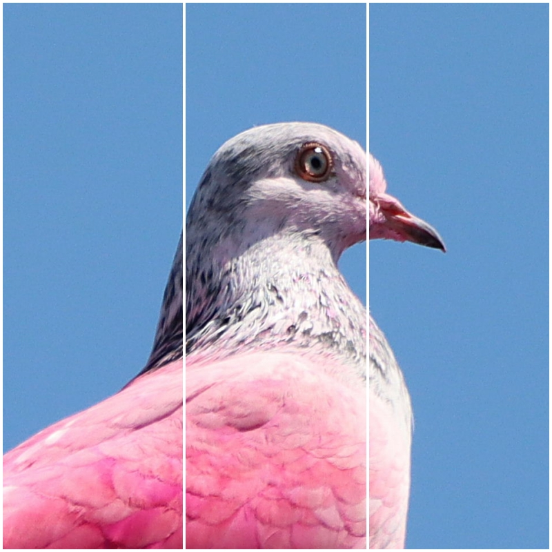 Pink pigeon – it's not everyday you see one of these