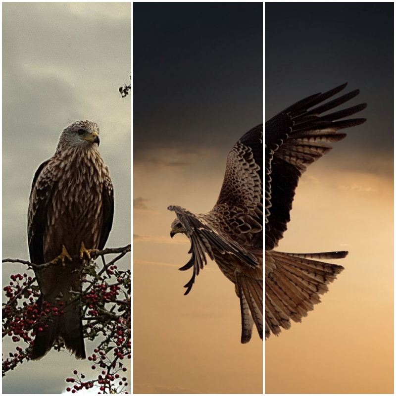 Red Kites edited pictures not original but …