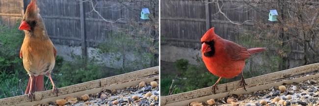 Cardinal_FemalMale