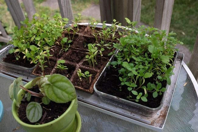 SeedlingsAllMay25
