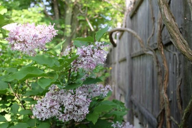 LilacsAndFence