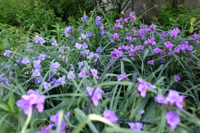 Spiderwort_FullBloom