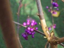 Glowing purple Beautyberry