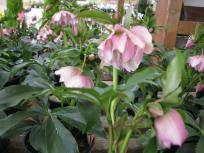 Frilly Kitty Hellebore