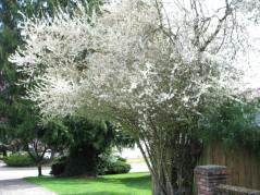 White Flowering Plum