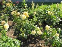 Sunshine Daydream Grandiflora