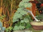 Bonsai Cypress