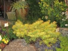 Bright Pine